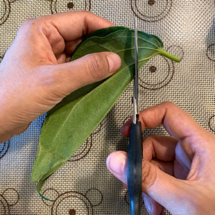 folded paan leaf being cut using a scissor